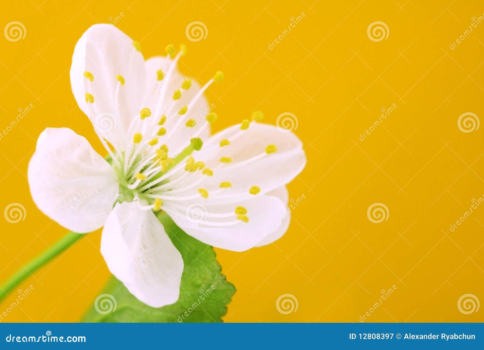 Close-up das flores de cereja