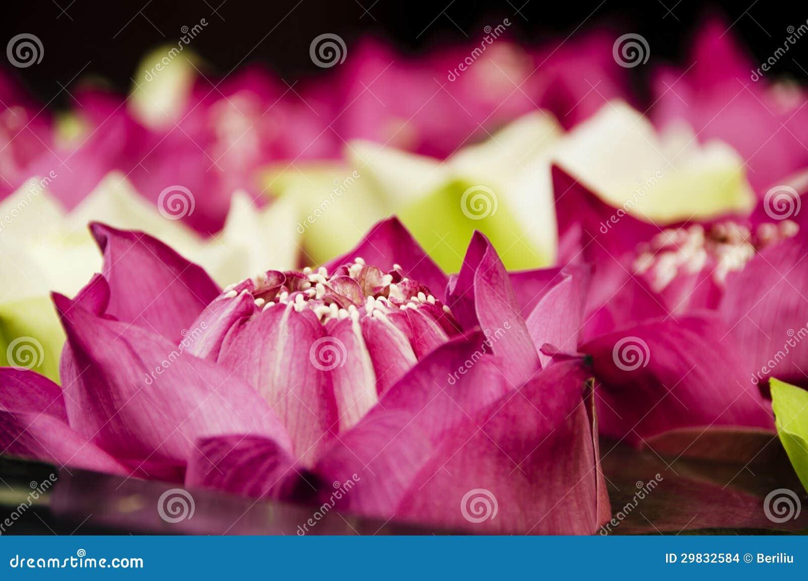 Close up das flores de Lotus