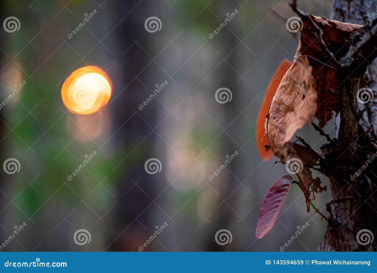 Close up das folhas marrons secadas na árvore com fundo borrado da floresta e no sol com bokeh
