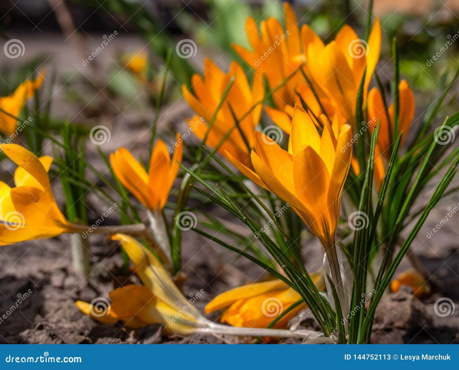 Close-up de açafrões amarelos no jardim