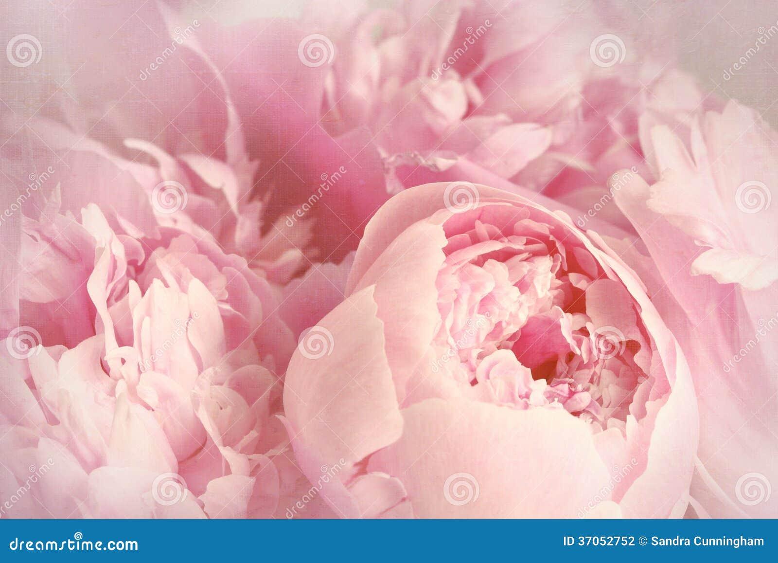 Close up de flores da peônia