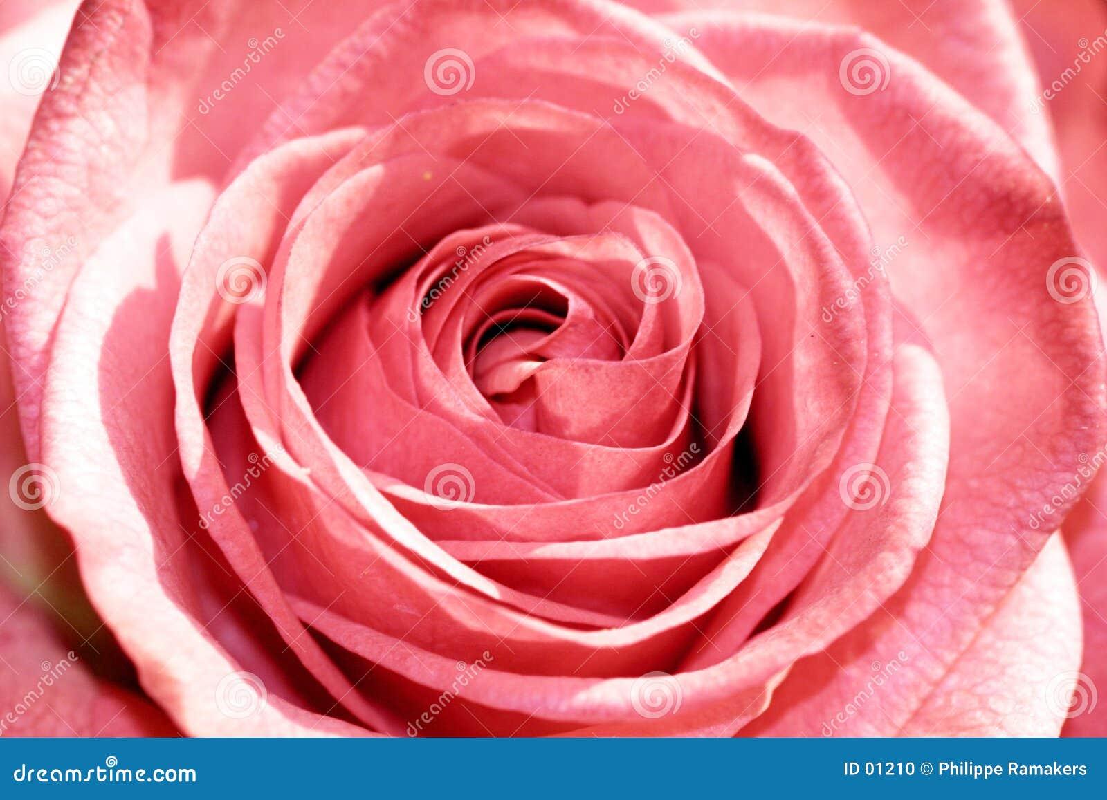 Close up de Rosa