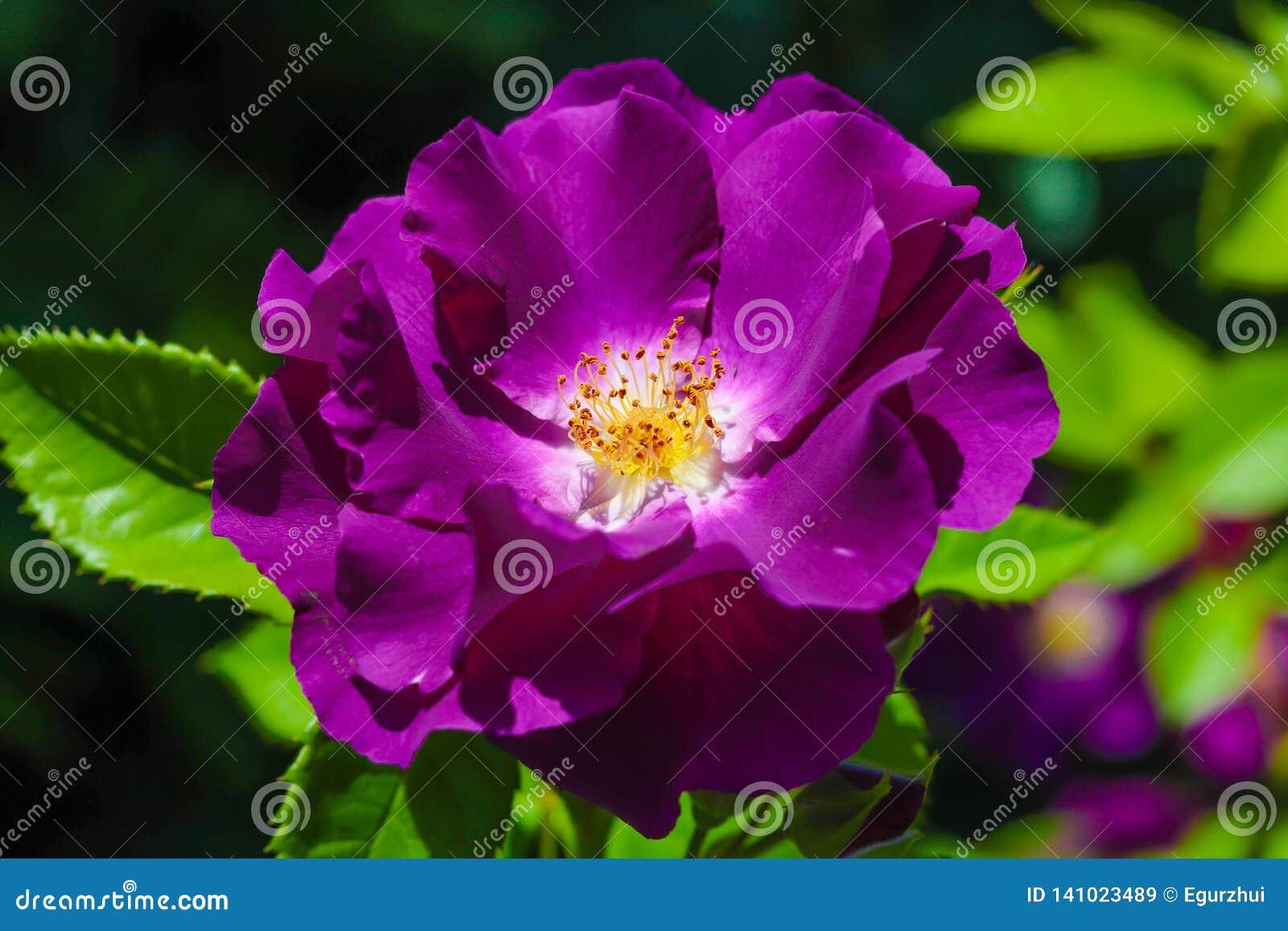 Close-up de Rosa roxa no jardim de rosas