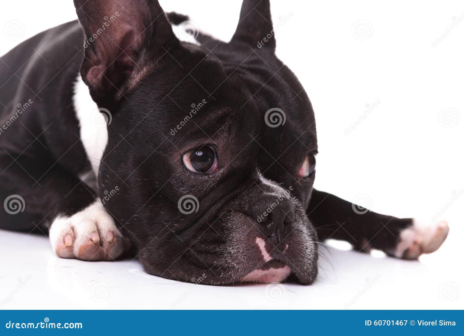 Close up de um cão de cachorrinho triste do buldogue francês