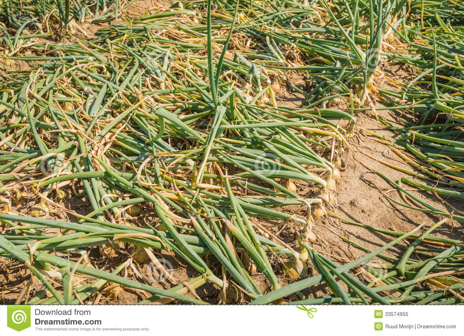 Close up de um campo com as cebolas quase maduras para for Coltivare cipolle