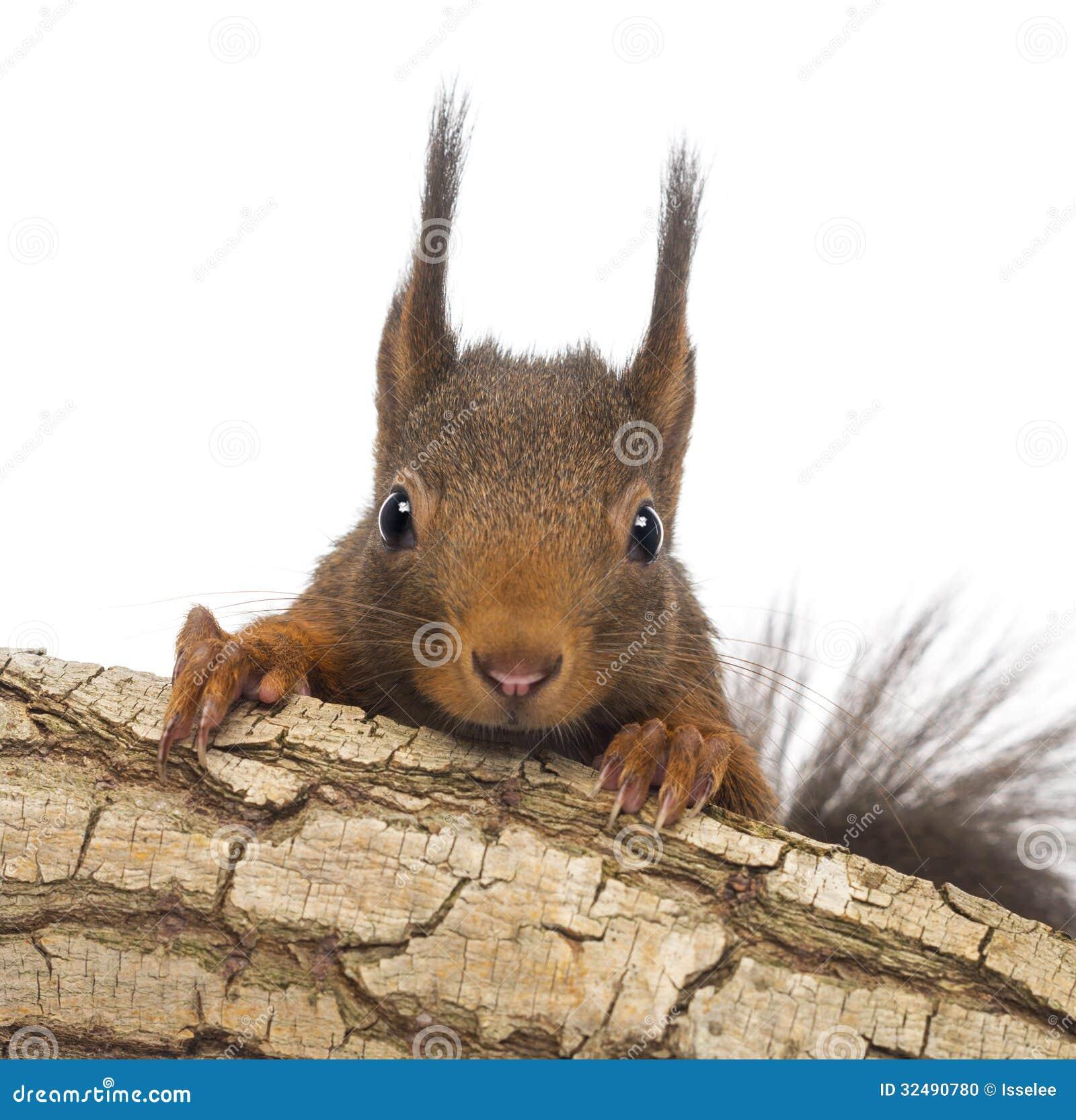 Close-up de um esquilo vermelho ou do esquilo vermelho euro-asiático, Sciurus vulgar, escondendo atrás de um ramo