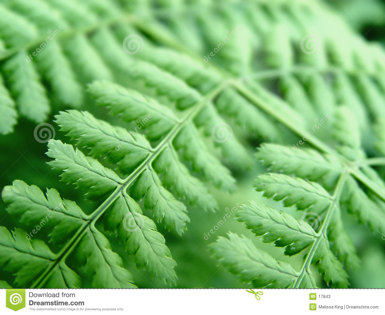 Close up de um Fern