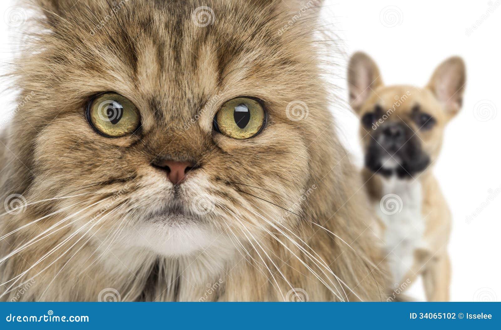 Close-up de um gato e de um cão que escondem atrás, isolado