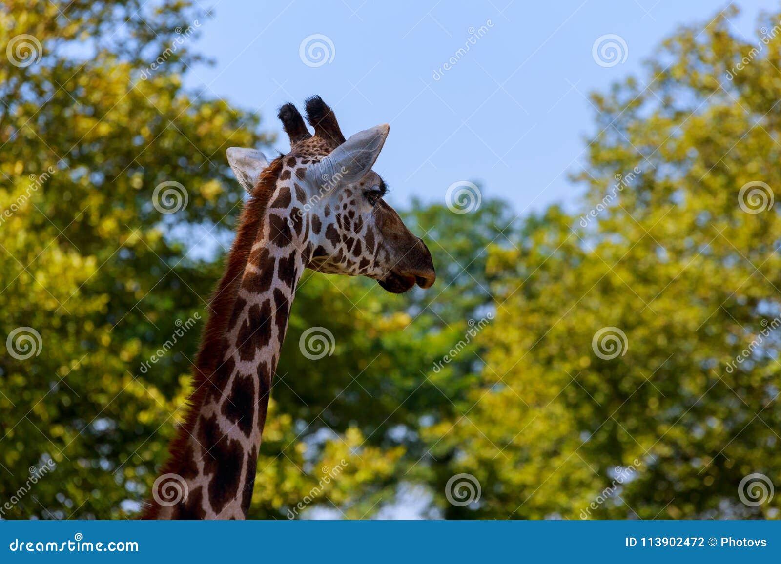 Close-up de um girafa na frente de algumas árvores verdes, como se para dizer