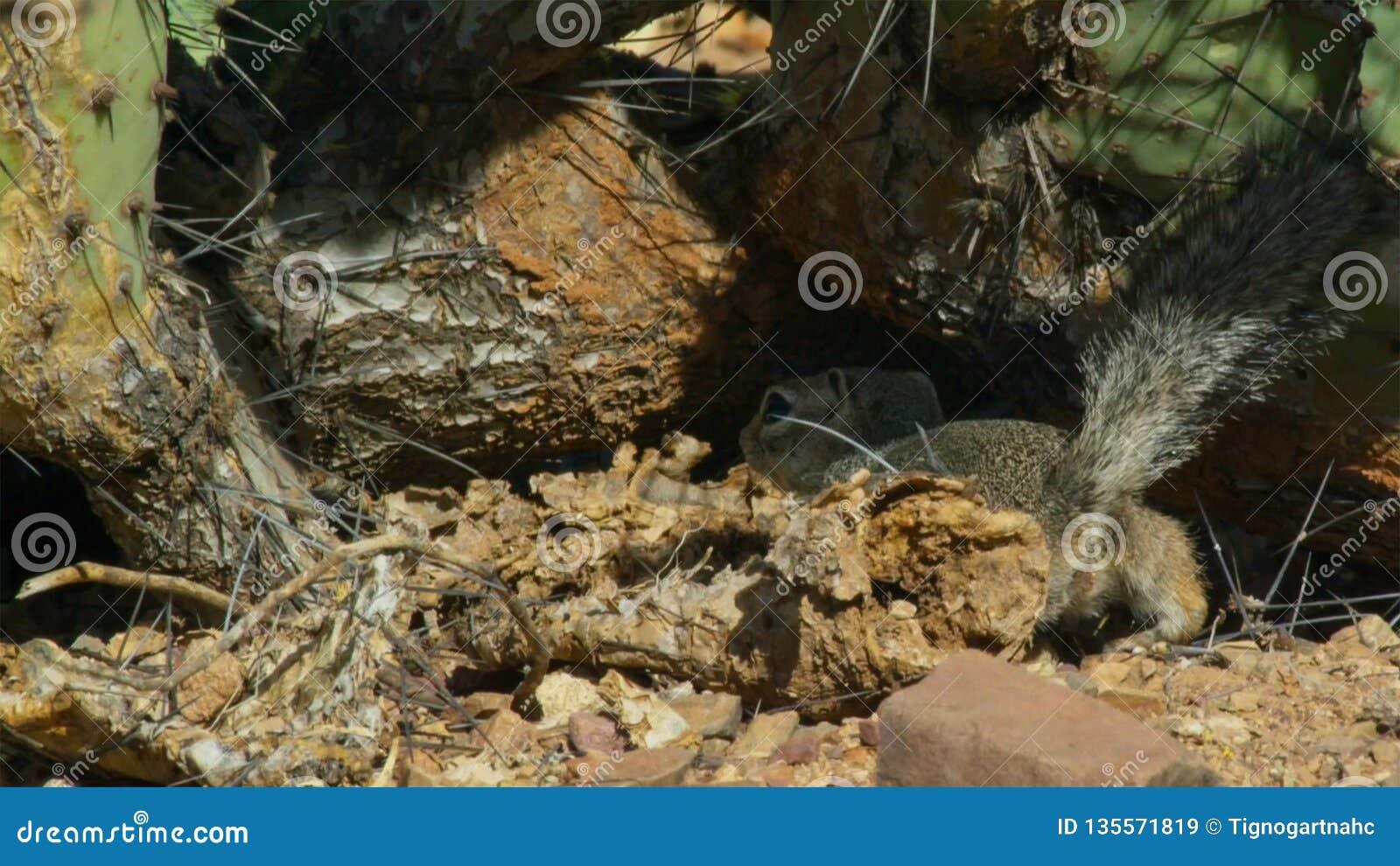 Close-up de um inaurus de Xerus do esquilo à terra no deserto de Kalahari, África do Sul