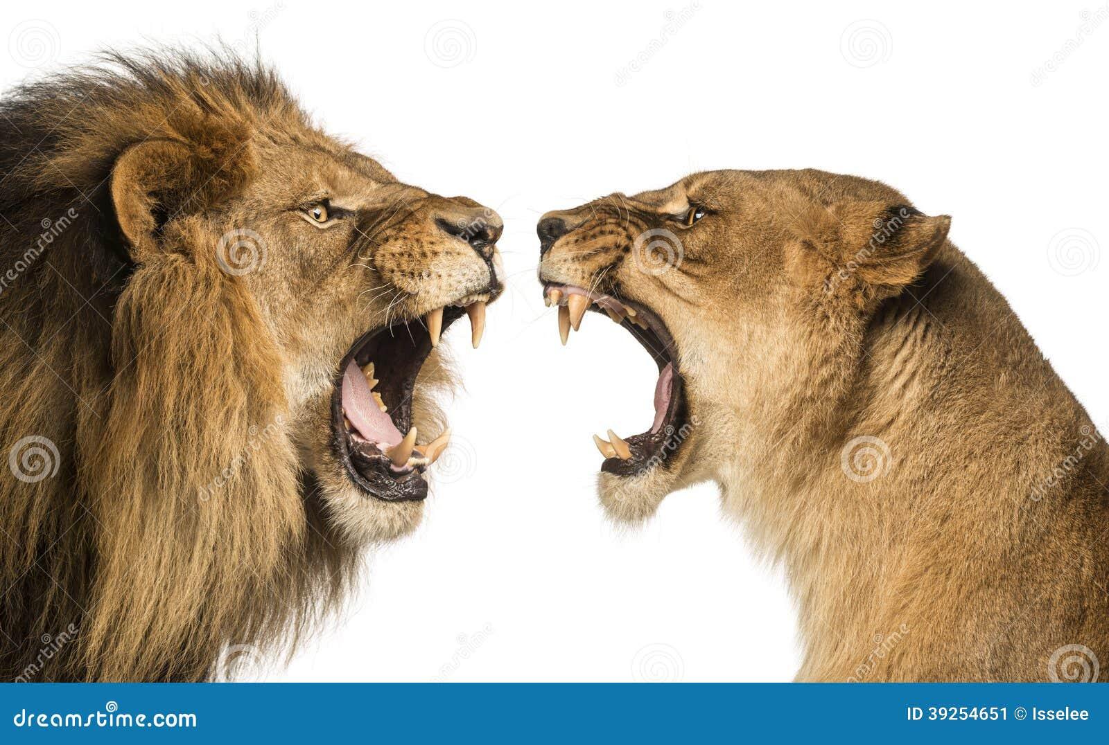 Close-up de um leão e de uma leoa que rujem