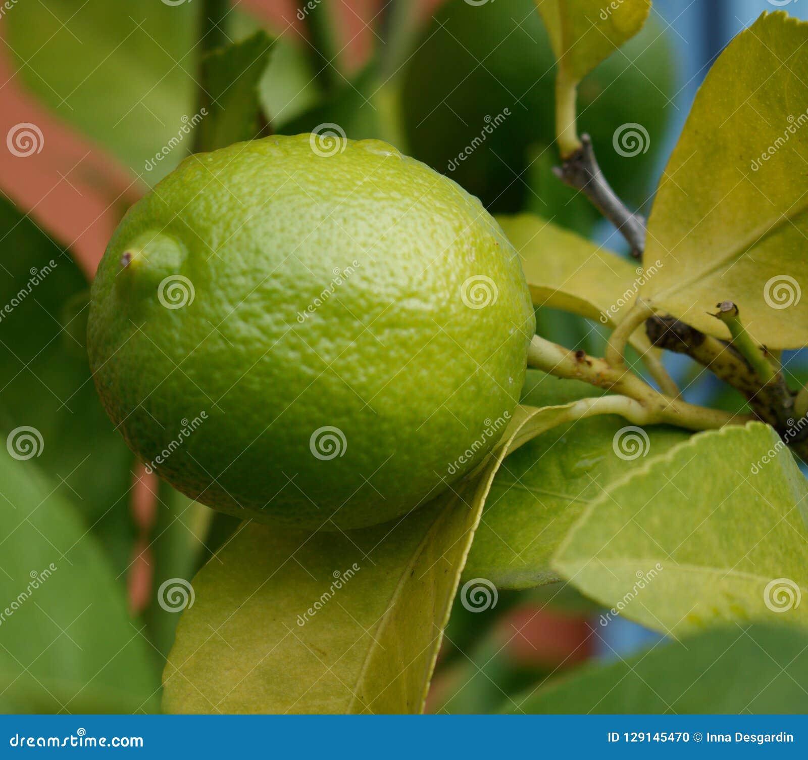 Close up de um limão verde com ramos e folhas Fundo verde Árvore de limão