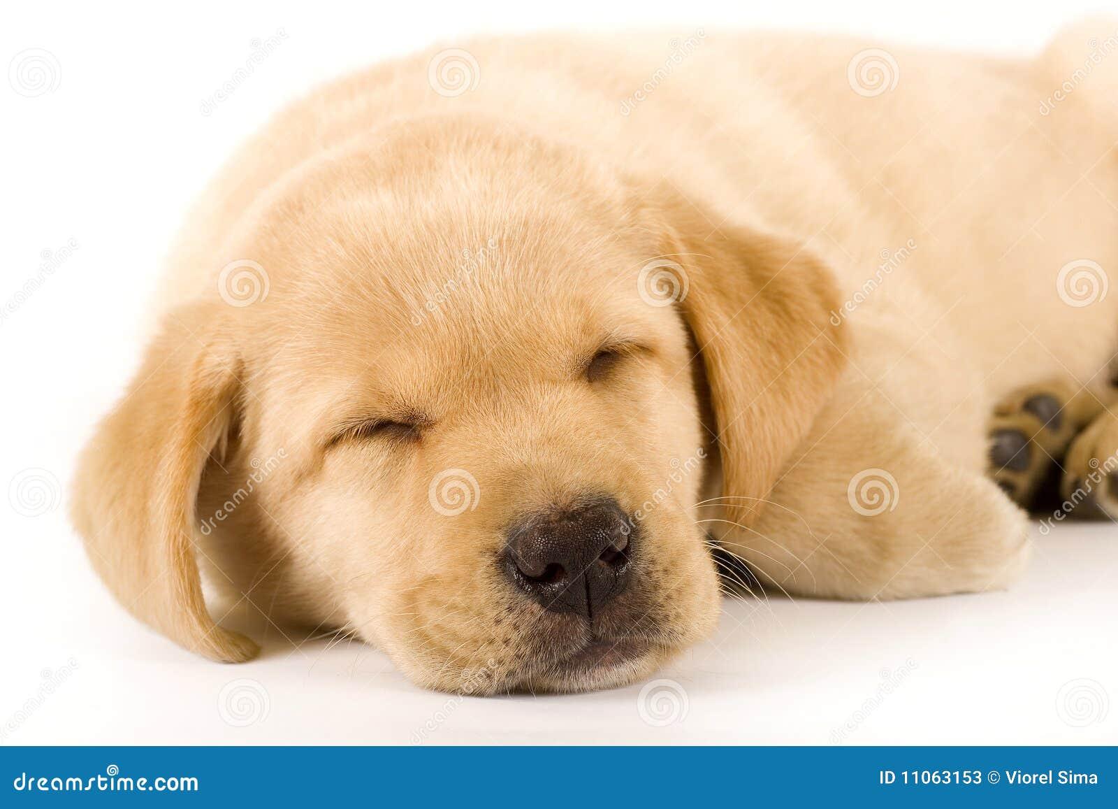 close up de um sono do filhote de cachorro do retriever de labrador fotos de stock imagem. Black Bedroom Furniture Sets. Home Design Ideas