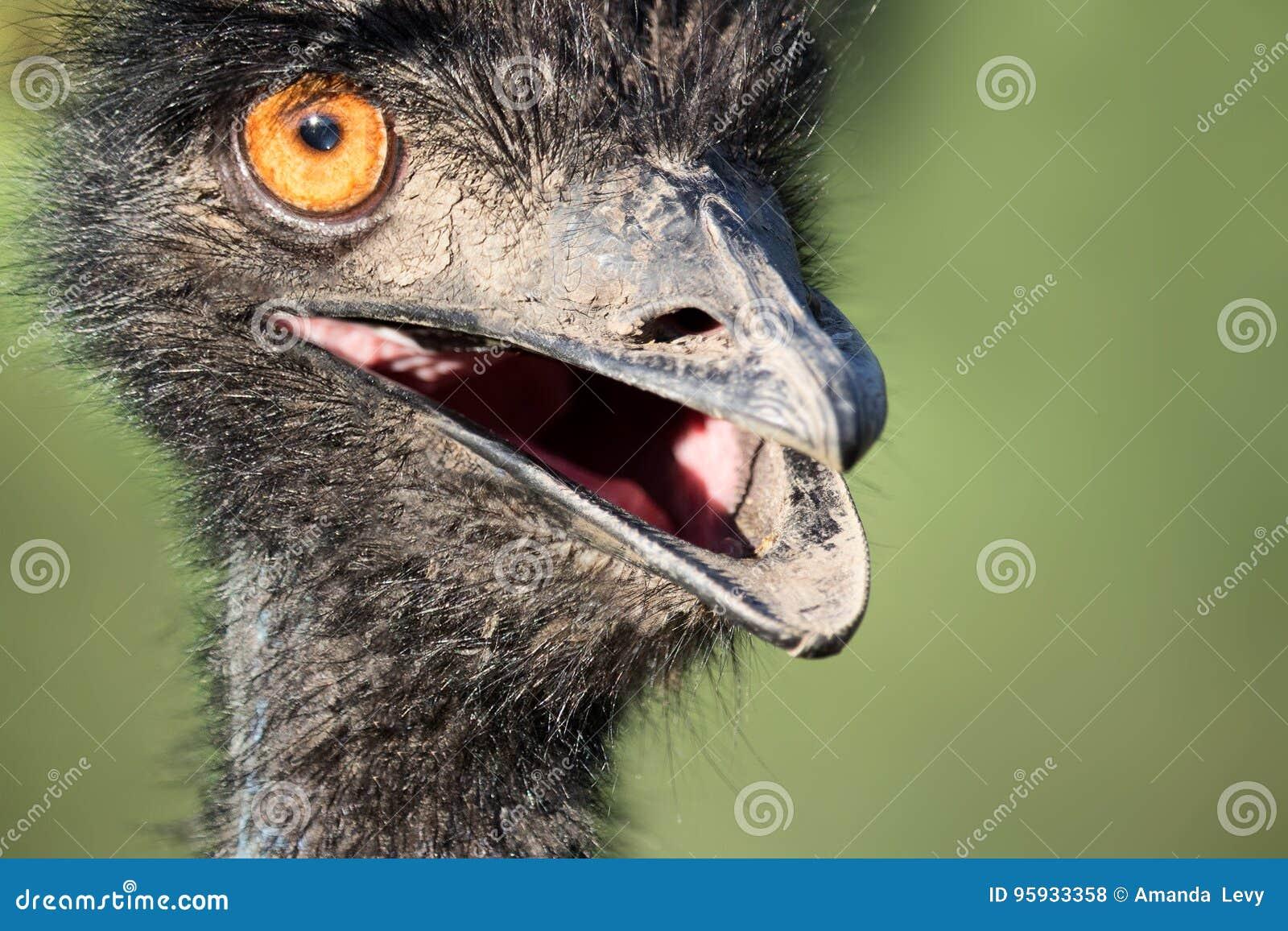 Close up de uma avestruz