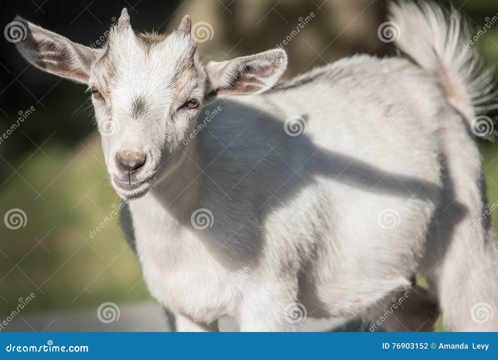 Close up de uma cabra