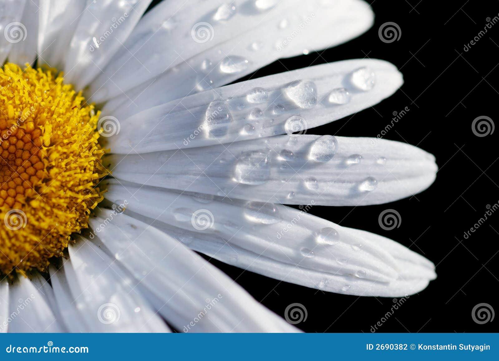 Close-up de uma flor da margarida
