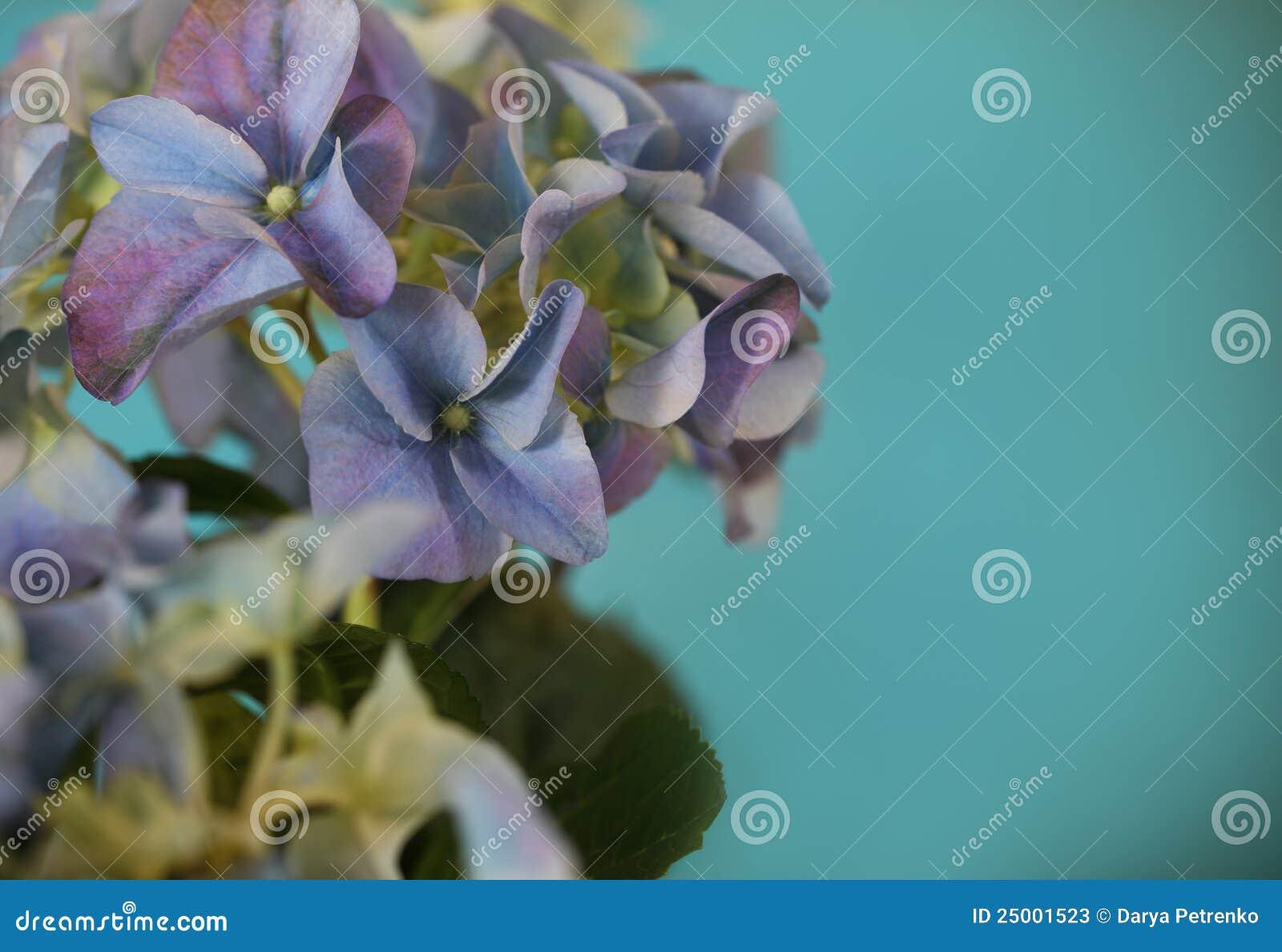 Close-up de uma planta azul do hydrangea