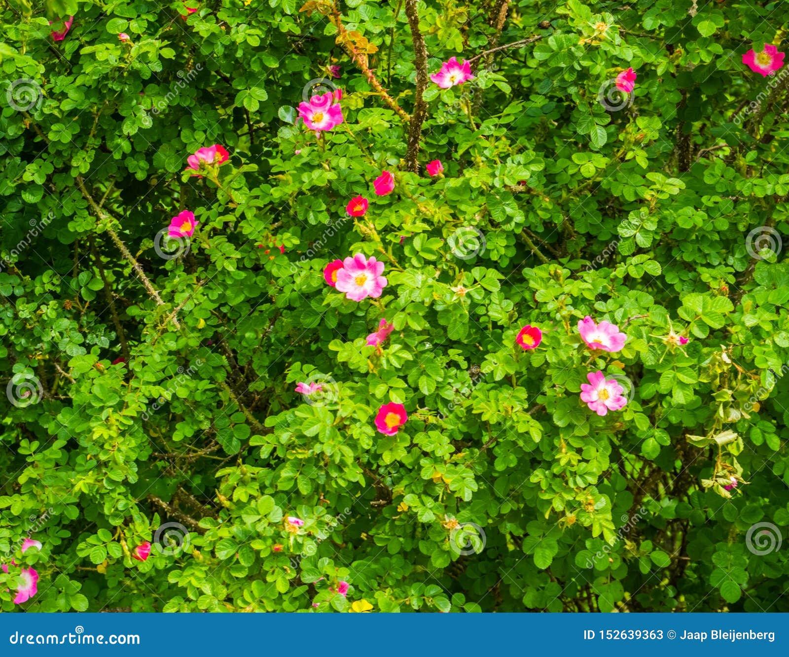 Close up de uma planta cor-de-rosa japonesa com florescência de flores cor-de-rosa, plantas de jardim decorativo populares, fundo