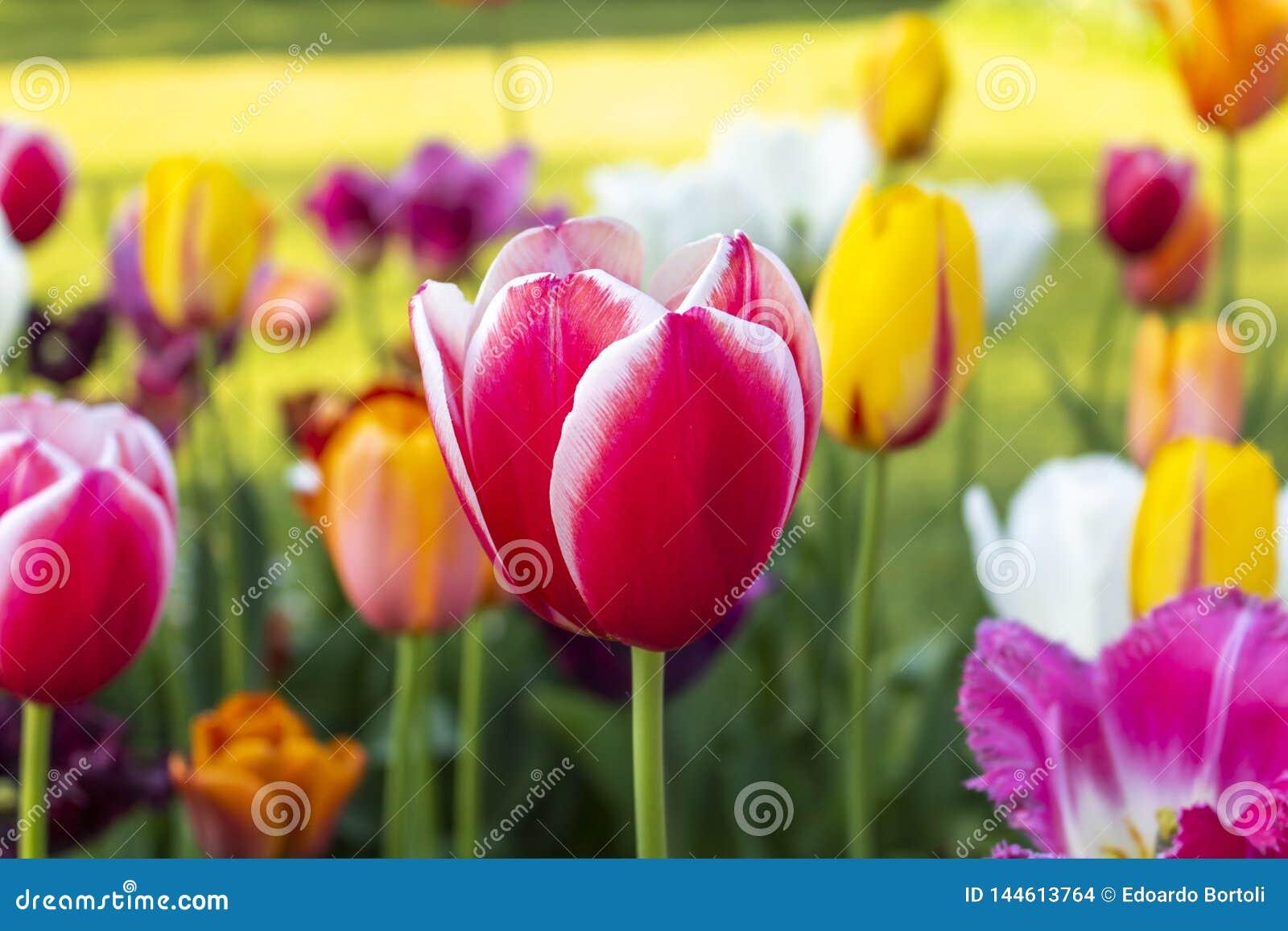 Close-up de uma tulipa