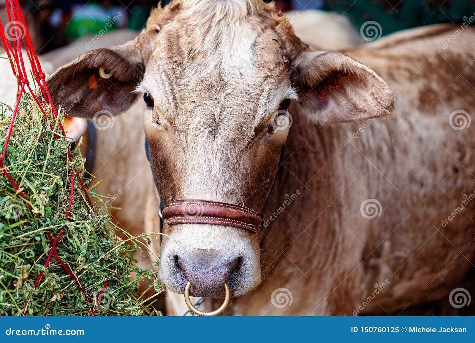 Close-up de uma vaca da mostra antes do julgamento