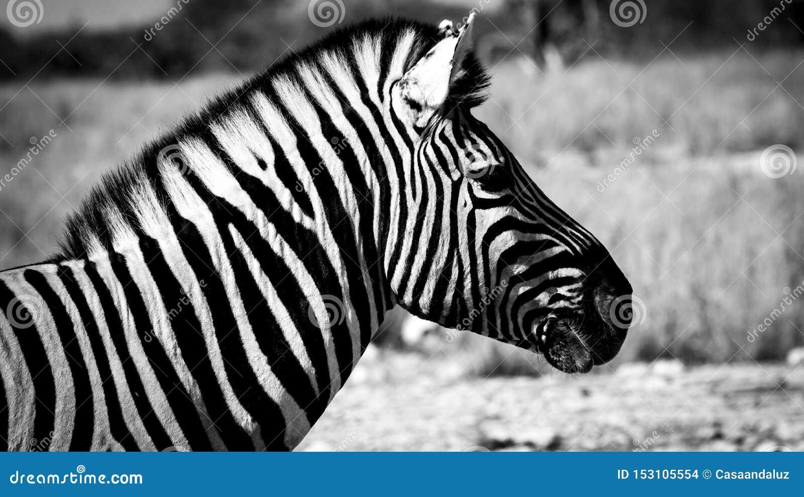Close-up de uma zebra em preto e branco