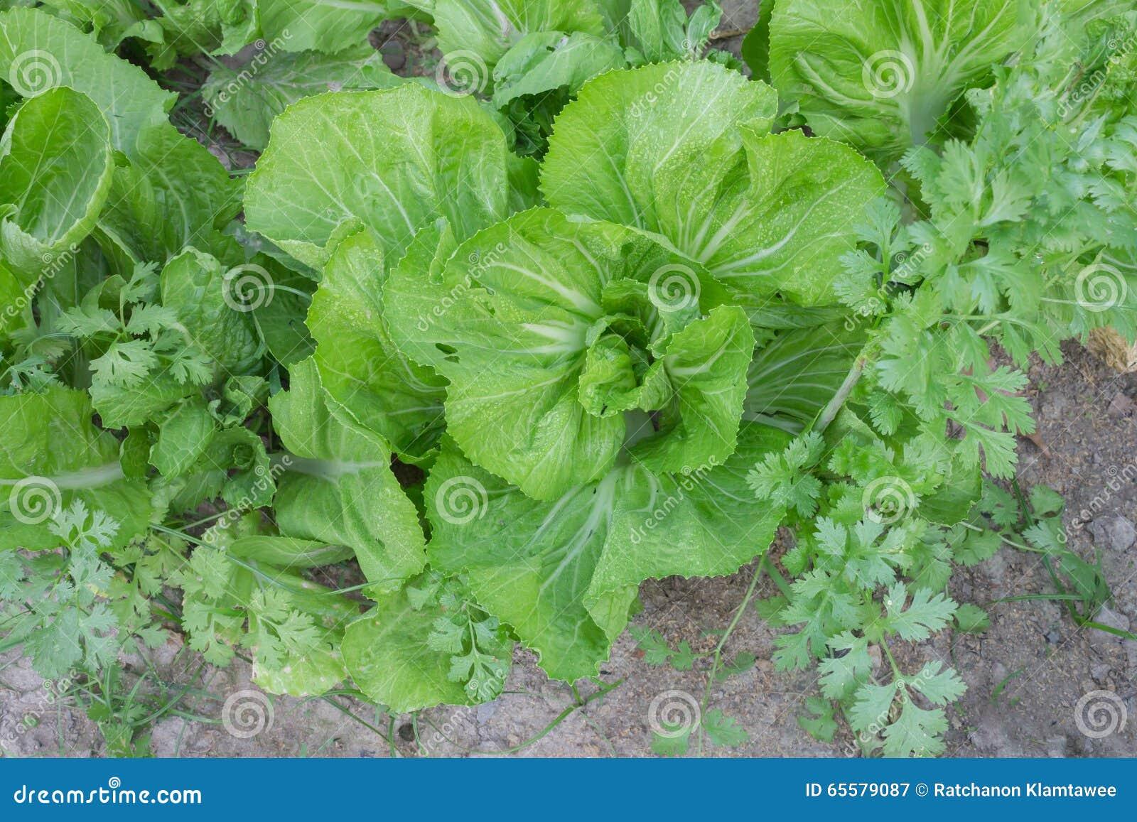 Close up de verdes de mostarda maduros