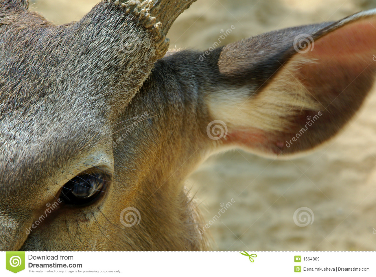 Close Up Of Deer Eye And Ear Royalty Free Stock Images - Image ...