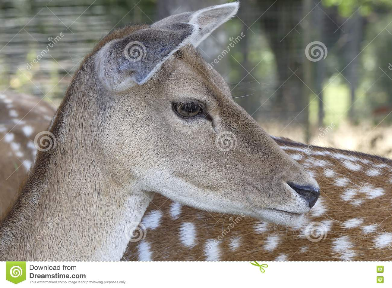 Close Up of deer head .
