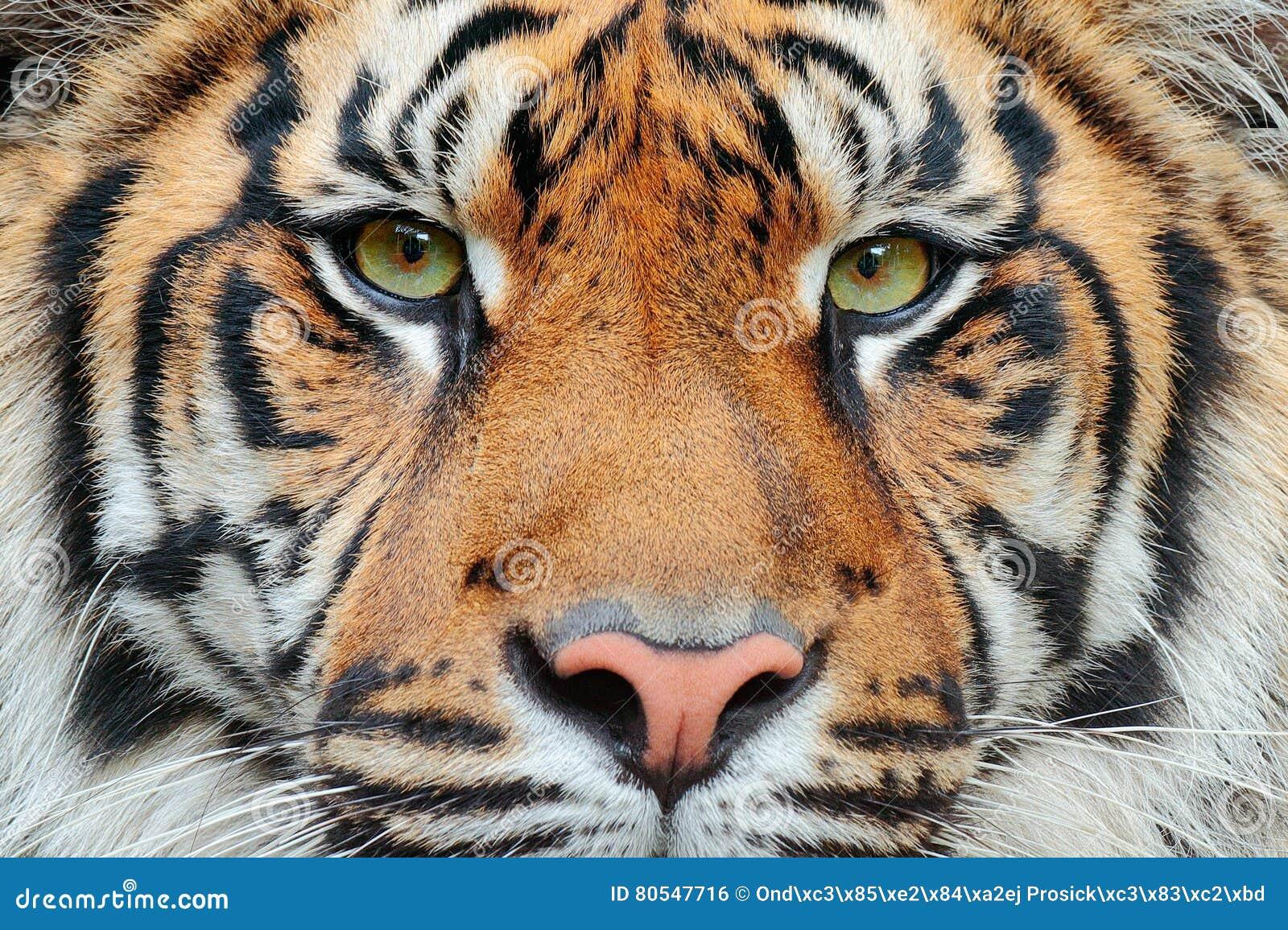 Close-up detail portrait of tiger. Sumatran tiger, Panthera tigris sumatrae, rare tiger subspecies that inhabits the Indonesian is