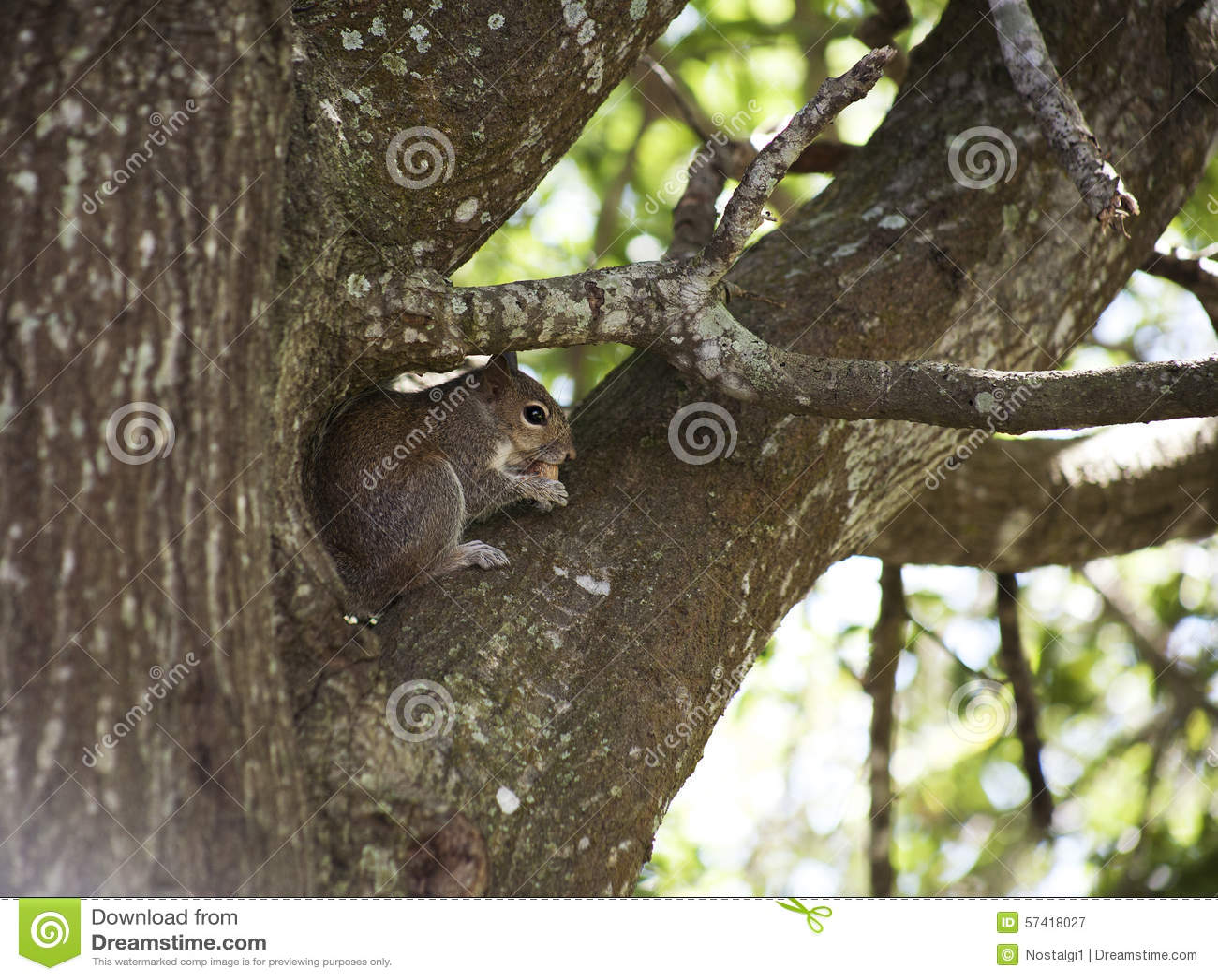 Close-up die van leuke grijze eekhoorn die pinda eten, op een boomtak zitten