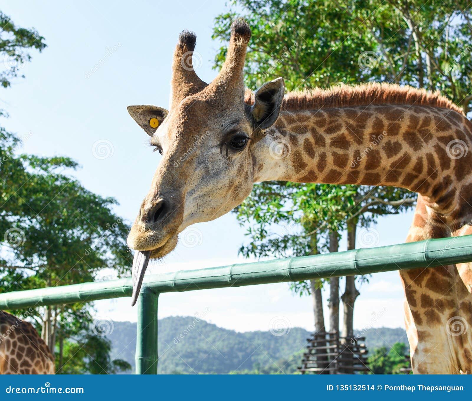 Close-up die van mooie Giraf Tong tonen