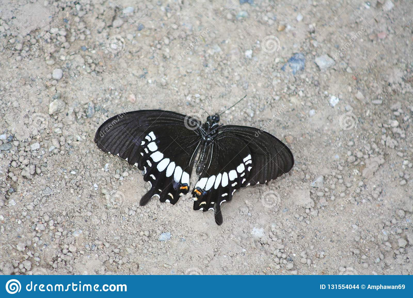 Died black butterfly on the ground