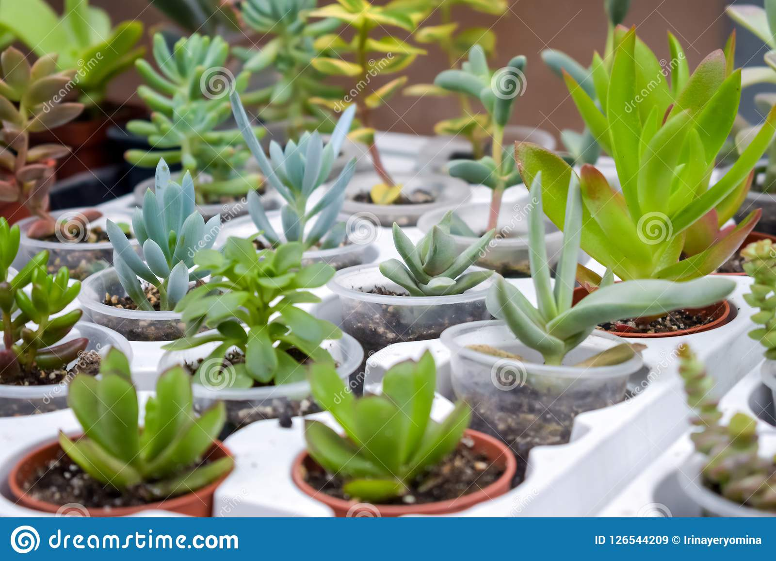 Close Up Of Different Varietal Agave Succulent Plants In Pots S
