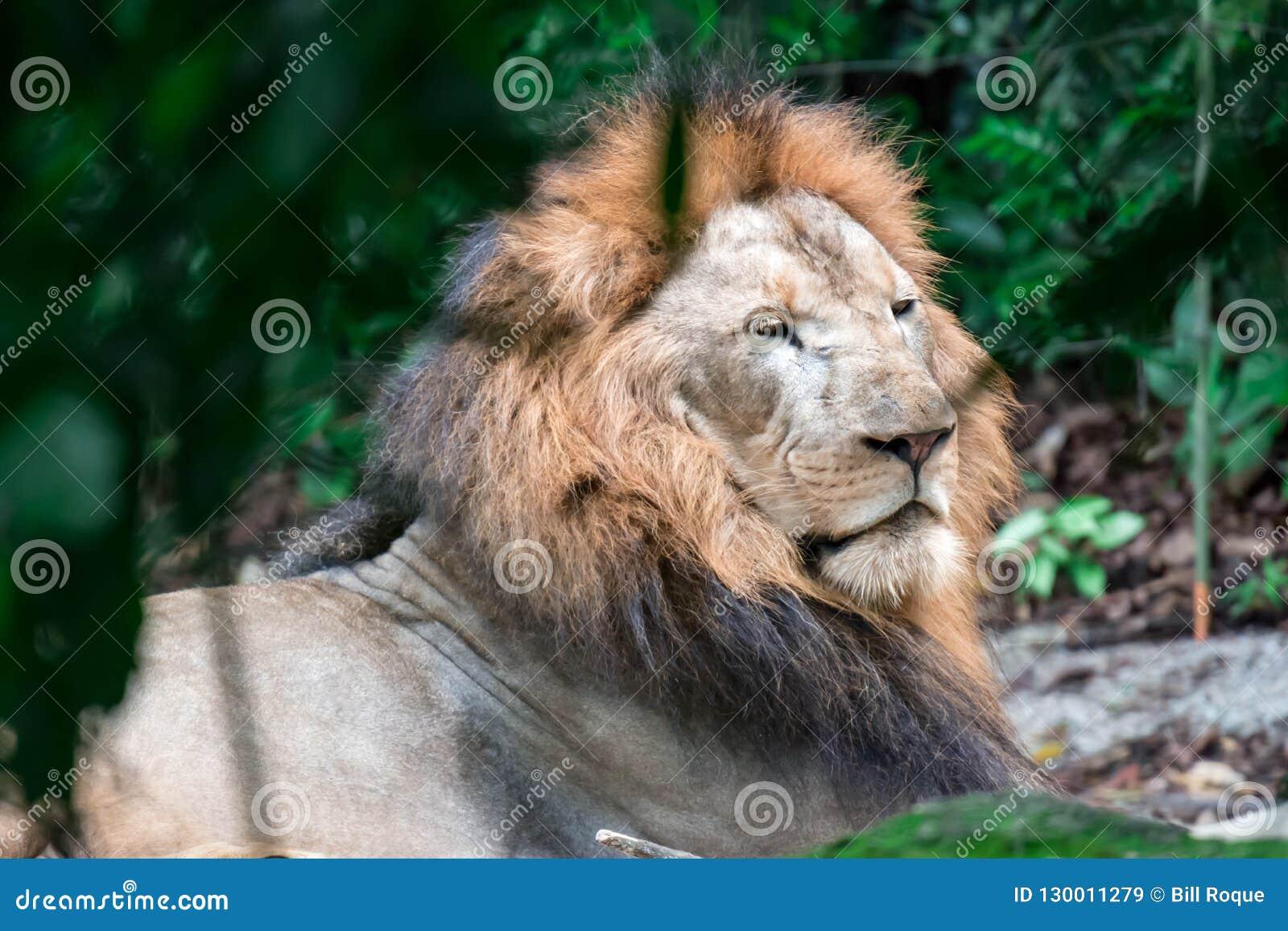 Close up disparado de um leão masculino muscular, profundo-chested ao descansar