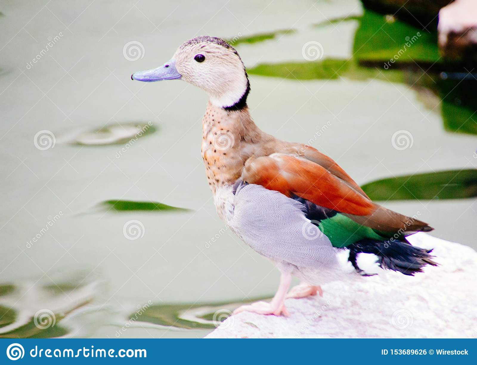 Close up disparado de um pássaro bonito colorido bonito do pato selvagem que senta-se em uma rocha branca perto de um lago