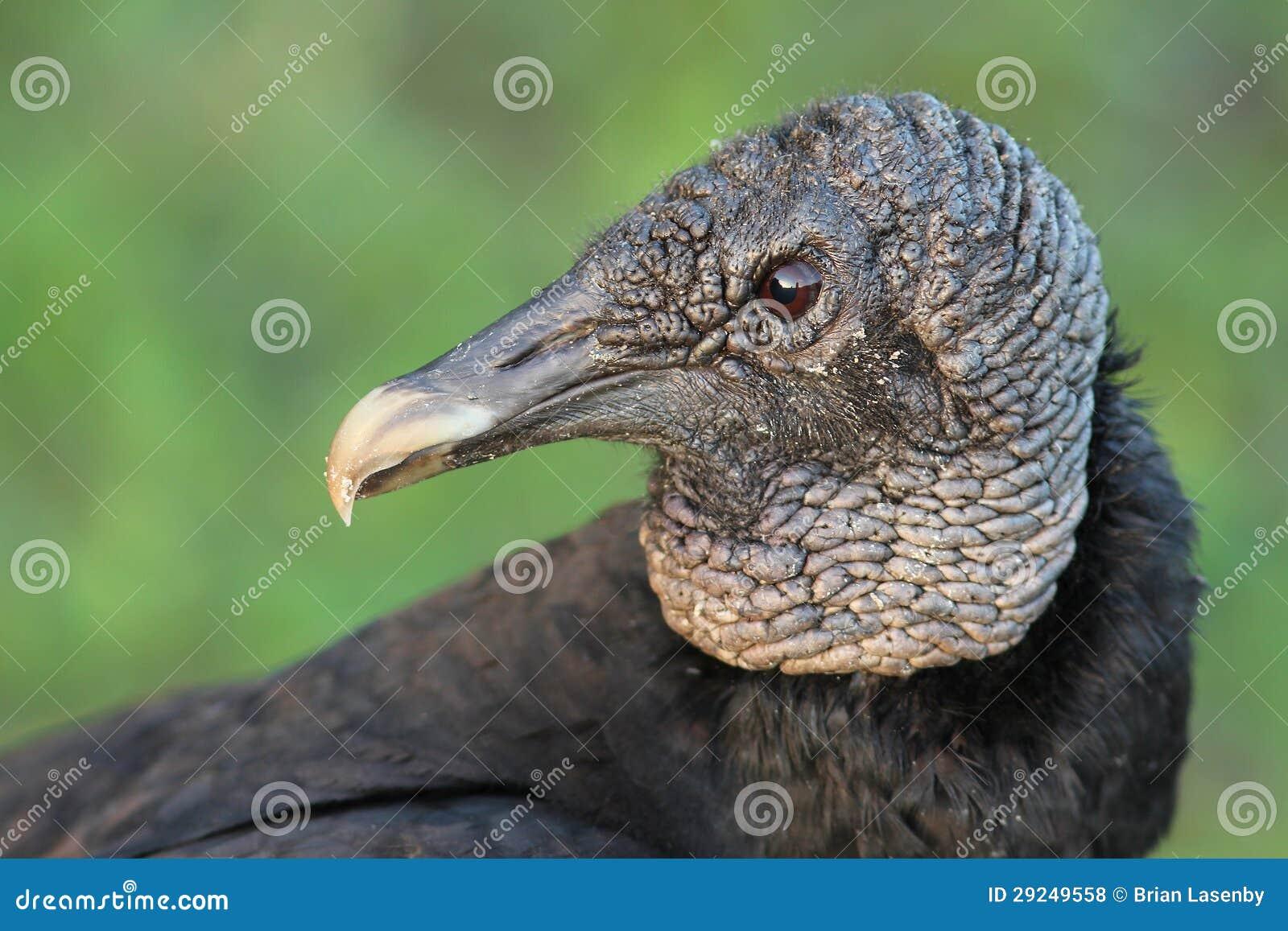 Download Close up do abutre preto foto de stock. Imagem de geórgia - 29249558