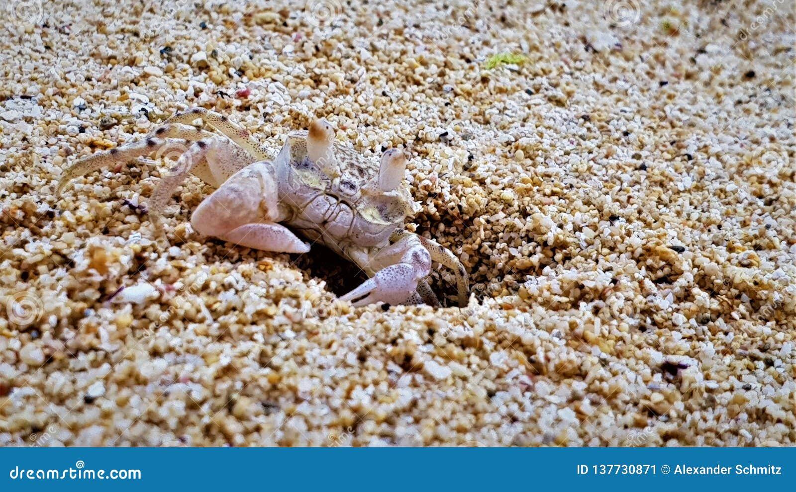 Close up do caranguejo na praia na ilha de Maurícia