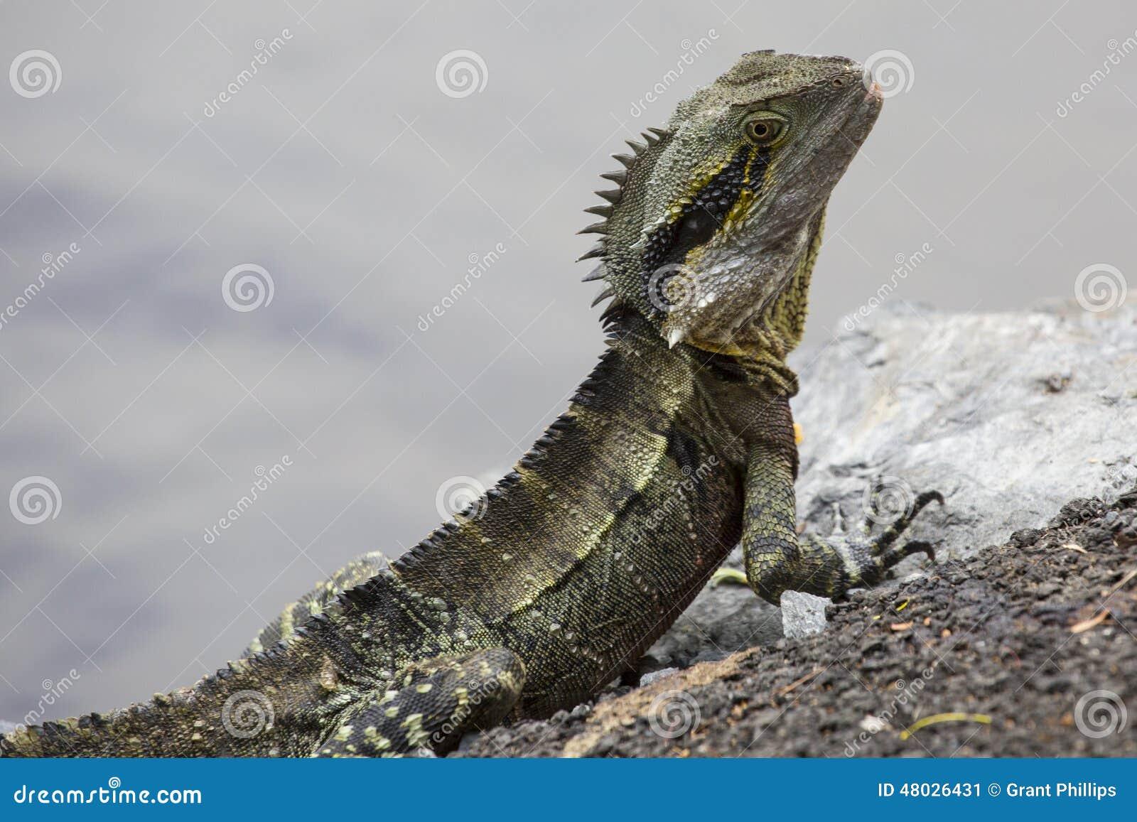 Close up do dragão de água australiano
