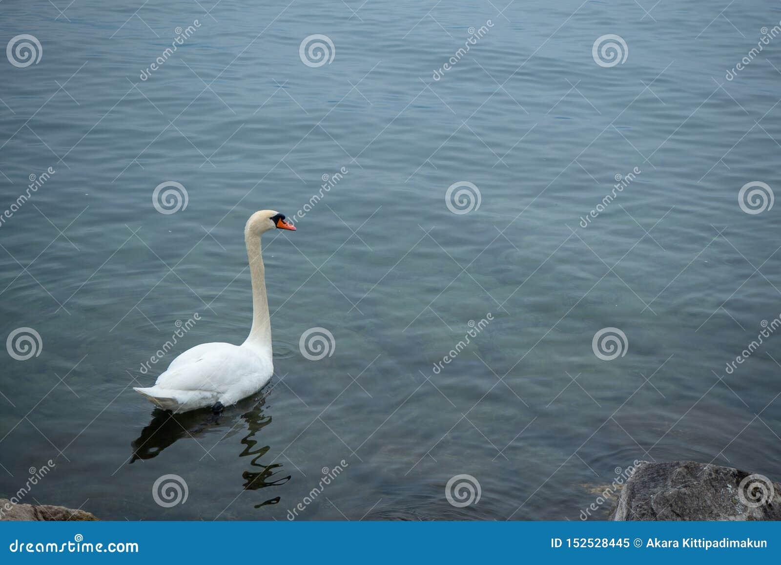 Close up do encanto e do ganso branco elegante que flutuam no lago geneva para o fundo