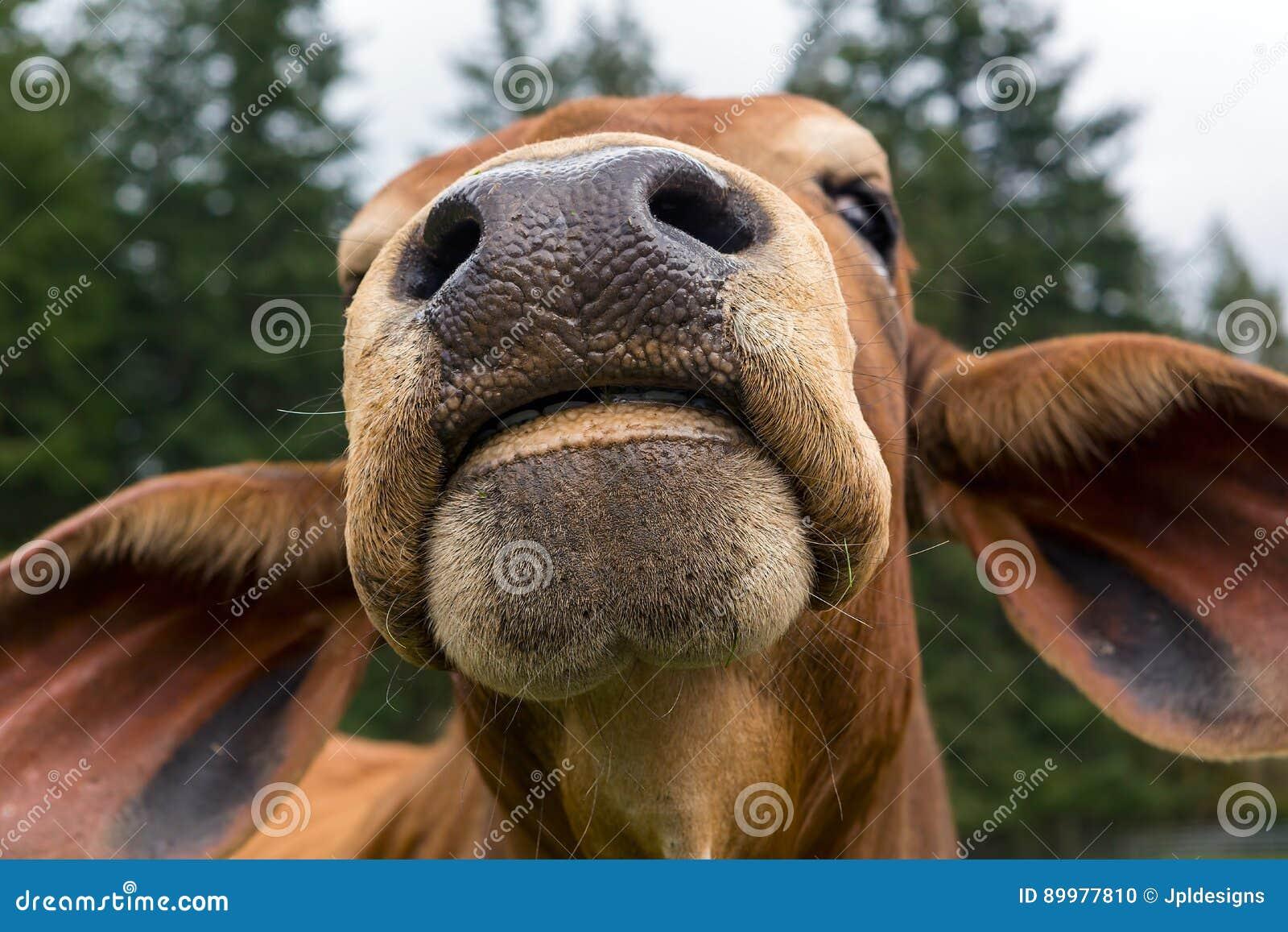 Close up do Facial do gado do brâmane