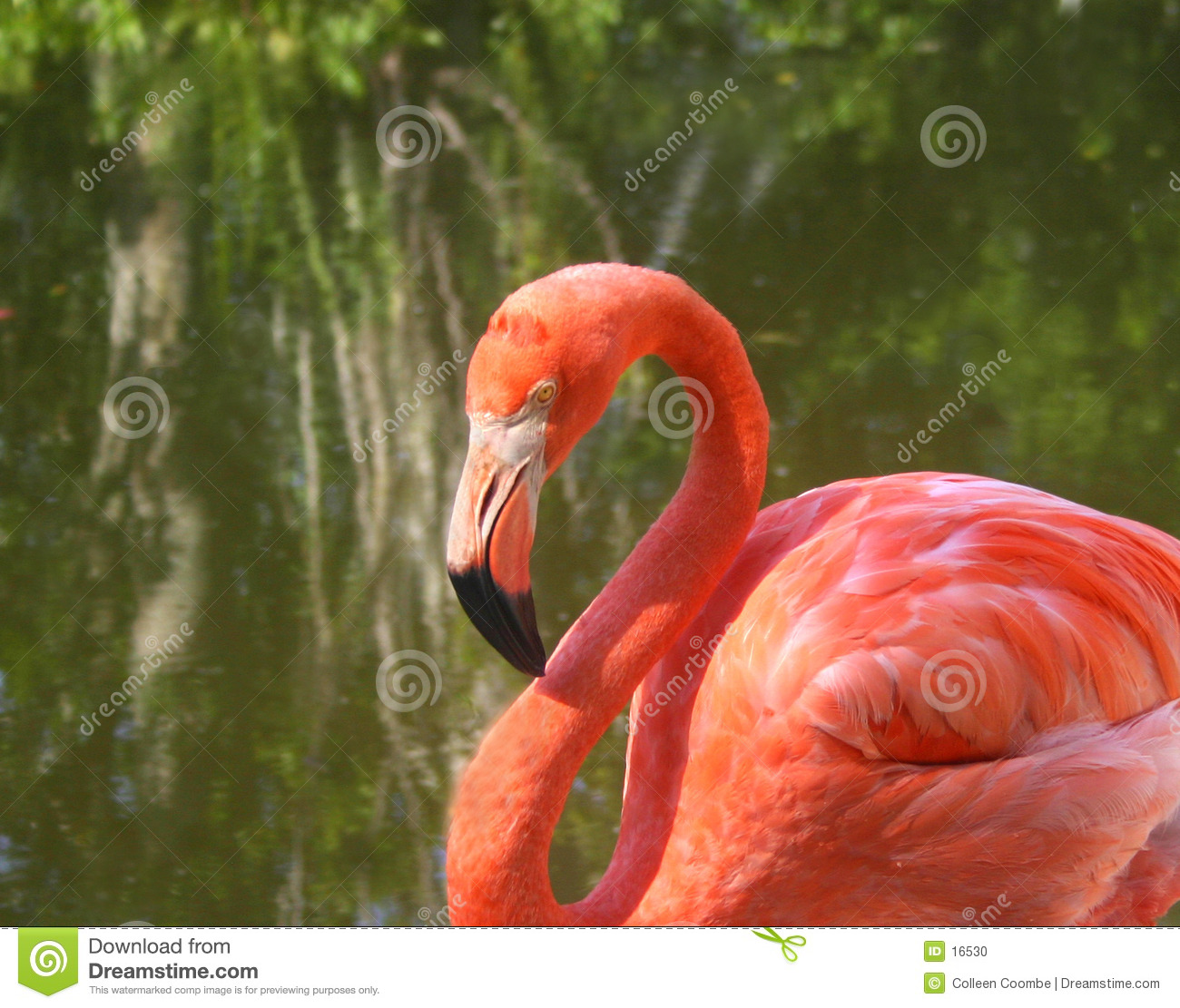 Close up do flamingo