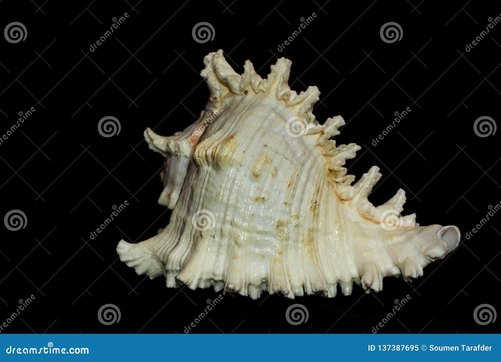 Close up do grande branco e da concha do mar do Murex de Brown