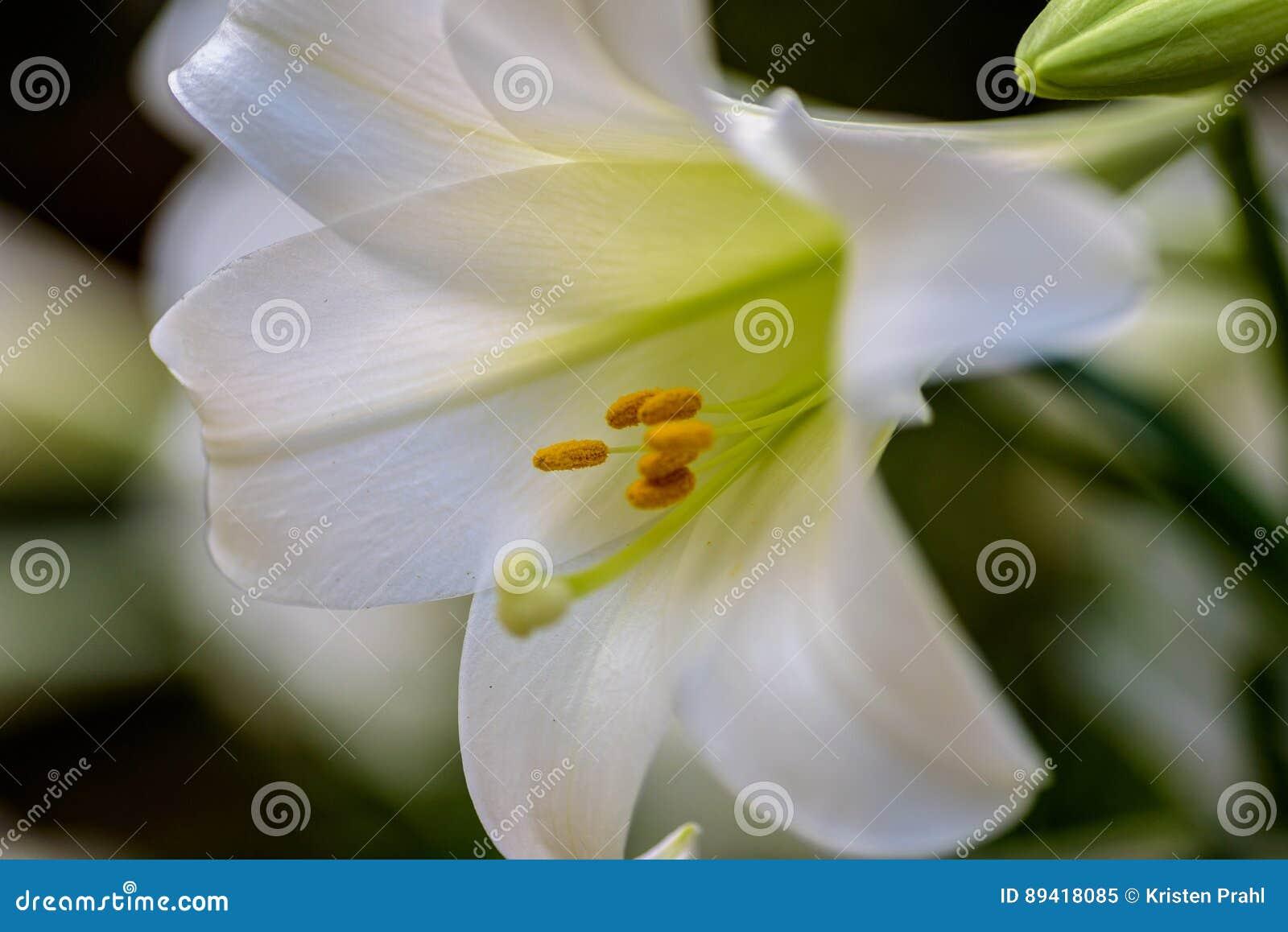 Close up do lírio de Páscoa branco bonito