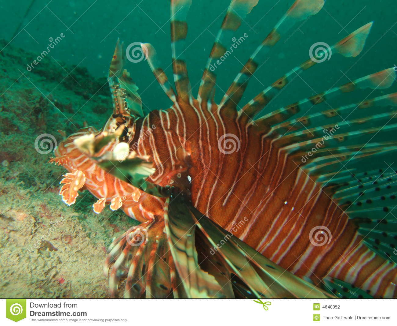 Close up do Lionfish