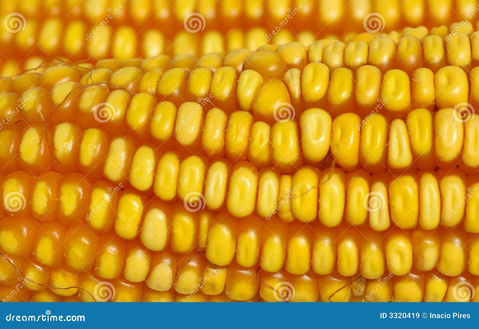 Close up do milho amarelo