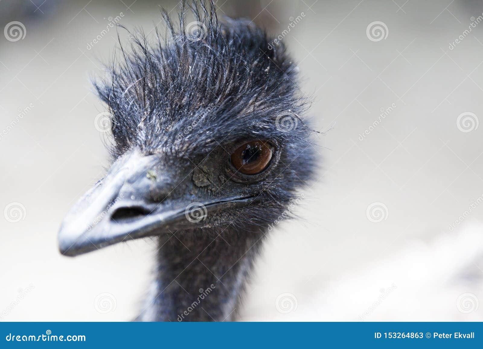 Close up do pássaro australiano do ema