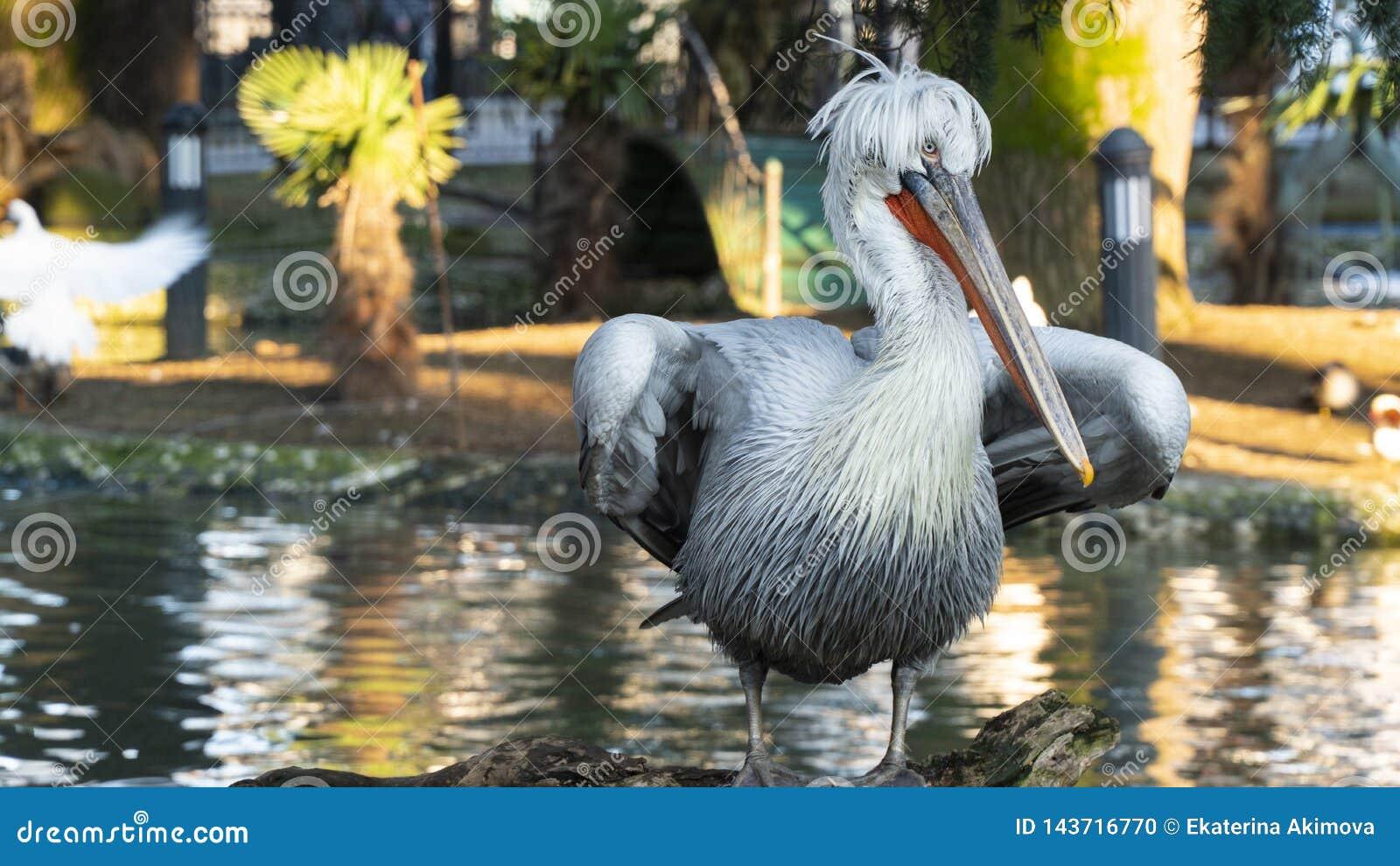 Close up do pelicano no parque