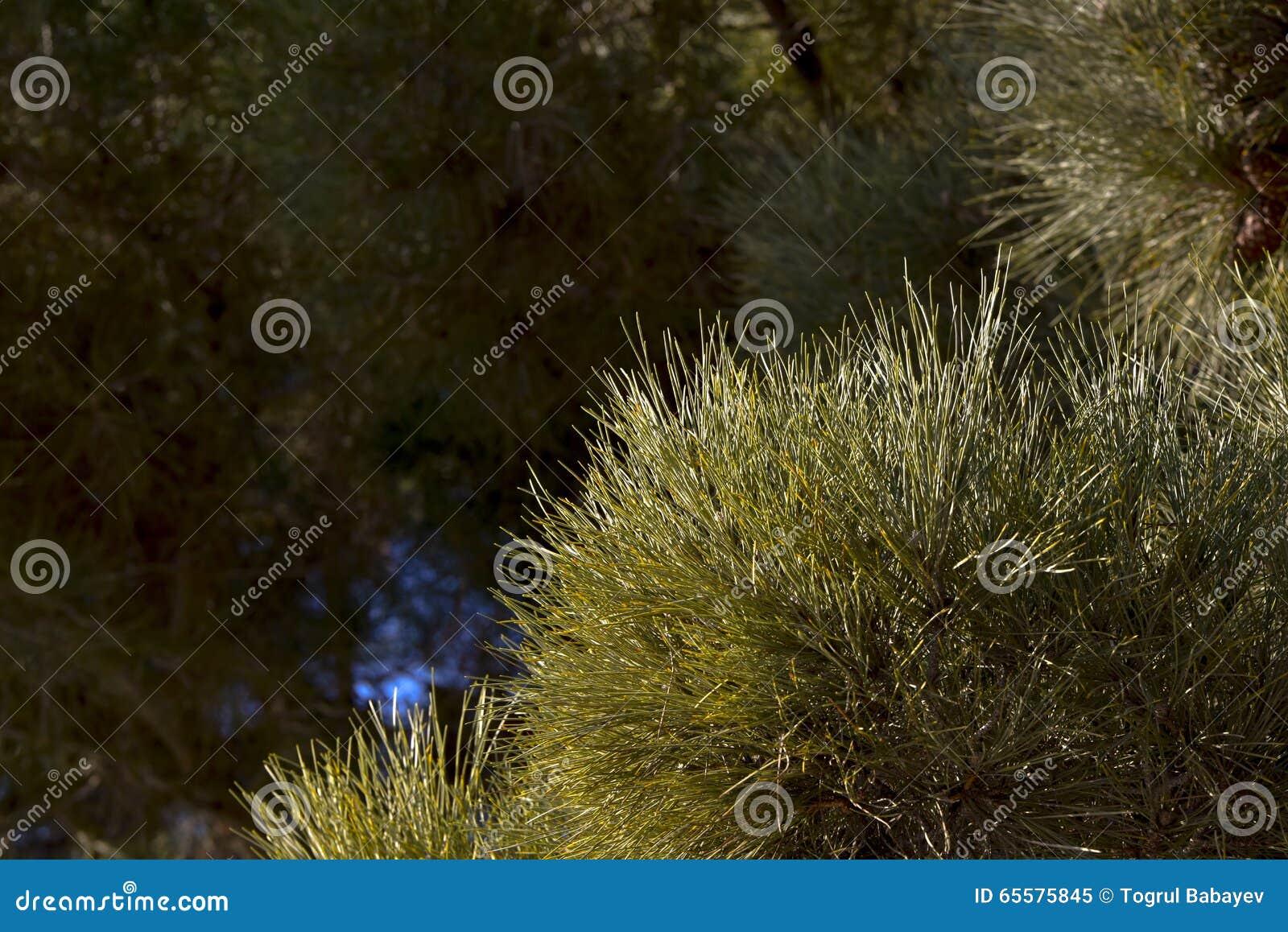 Close up do pinheiro