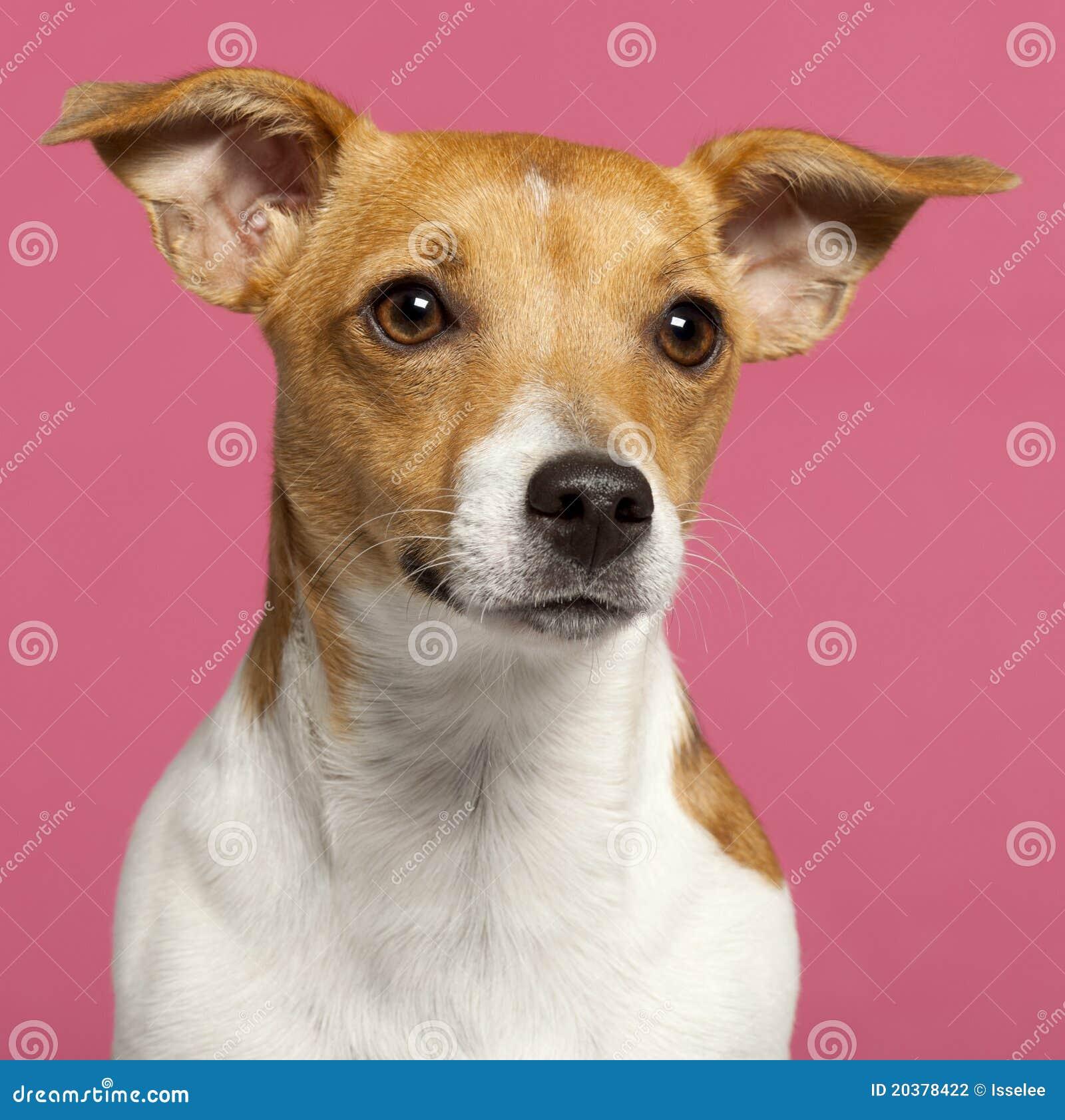 Close-up do terrier de Jack Russell, 10 meses velho