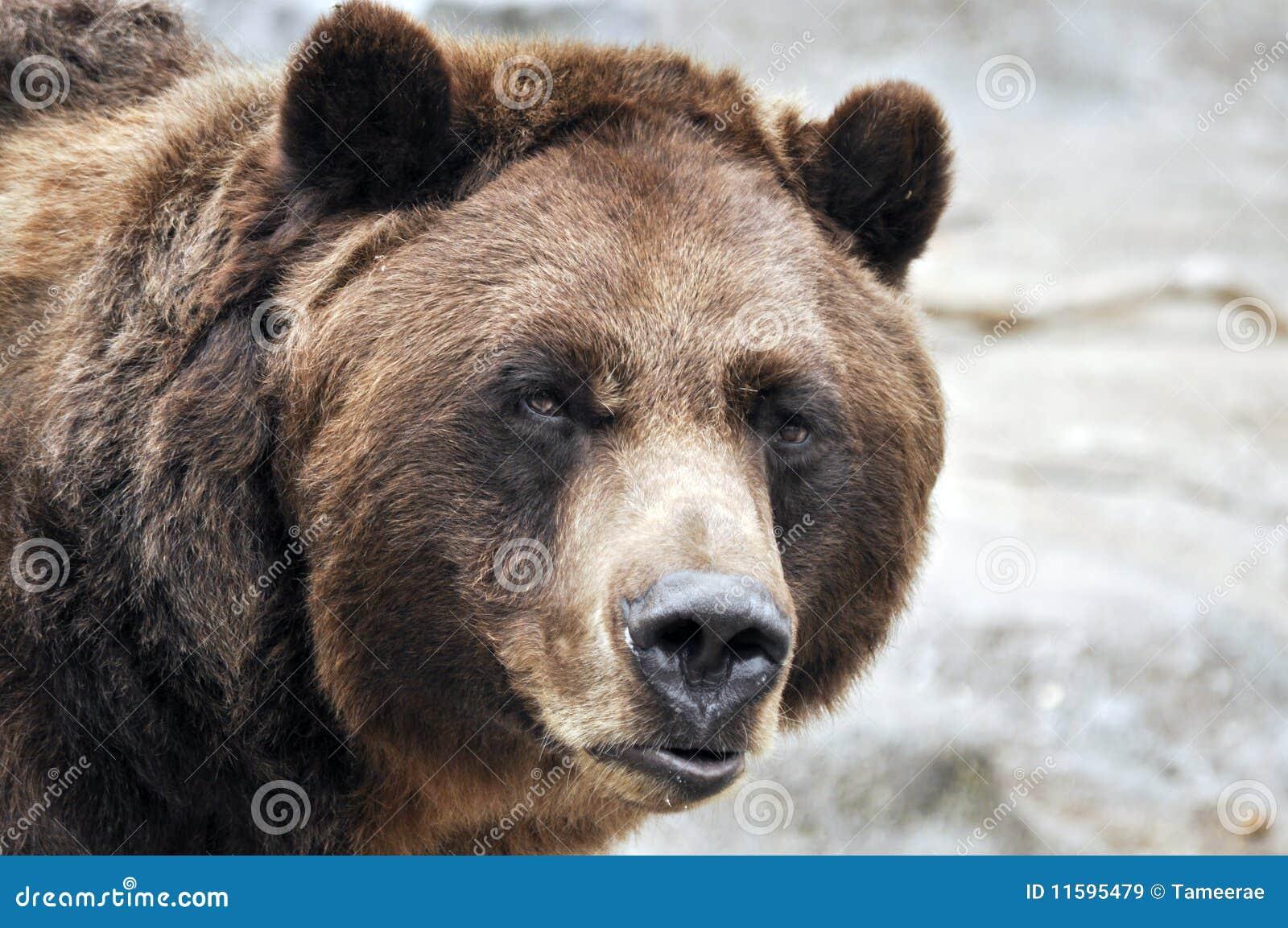 Close up do urso de urso